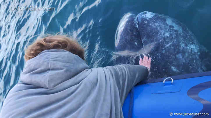 Boat passenger 'pets' gray whale off Dana Point in rare close encounter