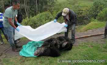 Cayó el hombre que mató un oso de anteojos en Fómeque, Cundinamarca - El Colombiano