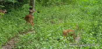 En reserva natural de Pivijay liberan venados amenazados - elheraldo.co