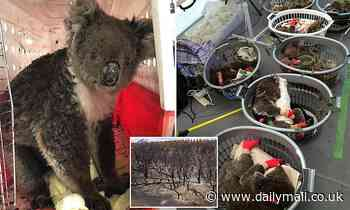 Up to 5000 koalas survived Kangaroo Island bushfires - as rescuers struggle to feed other wildlife