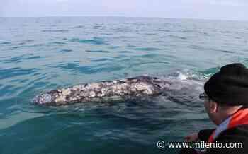 Ballena azul llega a playa de Loreto, Baja California Sur - Milenio