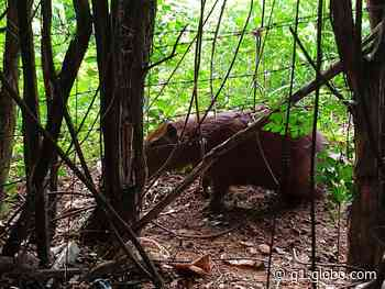 Polícia Ambiental resgata capivara capturada em armadilha de caça em Presidente Venceslau e a recoloca na natureza; veja VÍDEO - G1