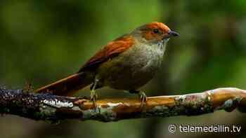 Encontraron un nuevo tipo de ave en el Alto de San Miguel - Telemedellín