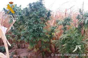 19 plantas de marihuana ocultas en el maizal de un municipio de la provincia de Valladolid - Noticiascyl