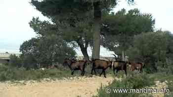 Carry-le-Rouet - Nature - A55. Attention aux chèvres sur le bord de la route - Maritima.info