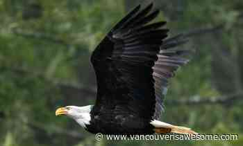 34th annual Brackendale Winter Eagle Count set to fly into Squamish - Vancouver Is Awesome