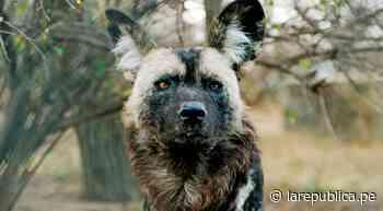 Manada de perros salvajes africanos matan a 16 animales tras escapar de su reciento en zoológico - LaRepública.pe