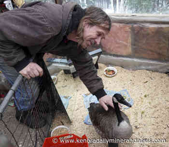 Keewatin humanitarian takes injured goose under wing - Daily Miner and News