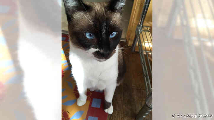 Siamese mix Coco needs a loving home