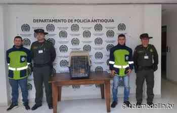 Autoridades rescataron ocelote en Marinilla - Telemedellín