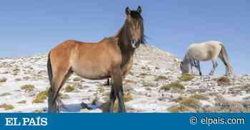 La curiosa historia de la única manada de caballos salvajes de Andalucía - EL PAIS