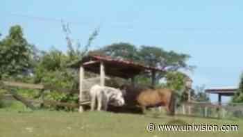 Cruzando la isla: Hacienda Don Carmelo en Vega Baja - Univision