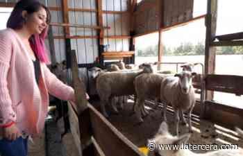 La joven valdiviana que busca prevenir la depredación de las ovejas - LaTercera