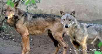 Tornano i lupi a Polverigi - Youtvrs