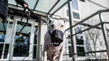 Kampfhunde: Wie groß dürfen Mini-Bullterrier sein?