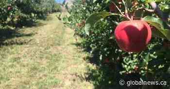 Okanagan apple orchardists say they're feeling financial squeeze