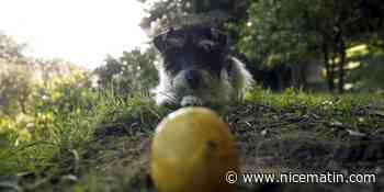Mais au fait, connaissez-vous vraiment l'histoire du citron de Menton?