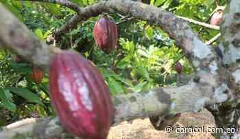 Cacao de Ciénaga del Opón saldrá para Europa - Caracol Radio
