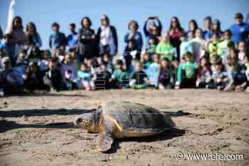 Escolares limpian la playa de las Arenas y asisten a la suelta de una tortuga - EFE - Noticias