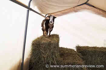 Eugene the goat feared taken from Shuswap community - Summerland Review
