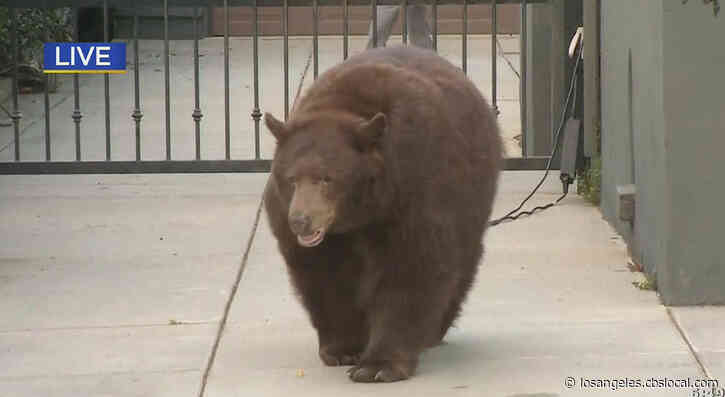 Bear Captured After Roaming Monrovia For Second Day In A Row