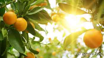In the Noah's Ark of Citrus, Caretakers Try to Stave off a Fruit Apocalypse - gvwire.com