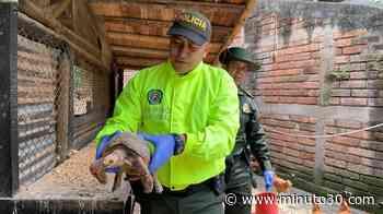Fotos: Animales silvestres que estaban en cautiverio fueron incautados en Vegachí – Antioquia - Minuto30.com