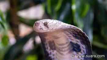 Teror Kobra di Depok Berlanjut, Ditemukan di Dalam Lemari Rumah Warga - Suara.com