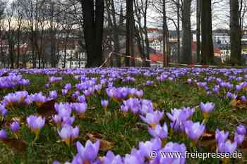 Ein Meer in Violett leuchtet in Hainichen - Freie Presse