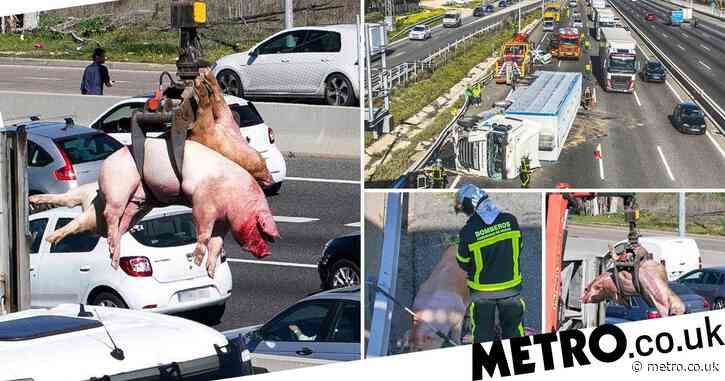 Chaos as lorry carrying 170 pigs overturns on motorway