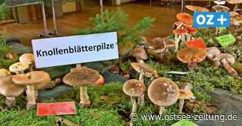 Ehrenamt: Sammler tragen in Bad Doberan 120 Pilzarten zusammen - Ostsee Zeitung