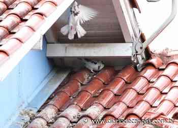 Pombos: perigo para a saúde na praça e no telhado - Diário de Canoas
