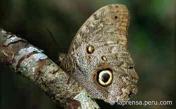 Bajo Urubamba: coloridos y raros insectos fueron identificados en la selva de Cusco - La Prensa