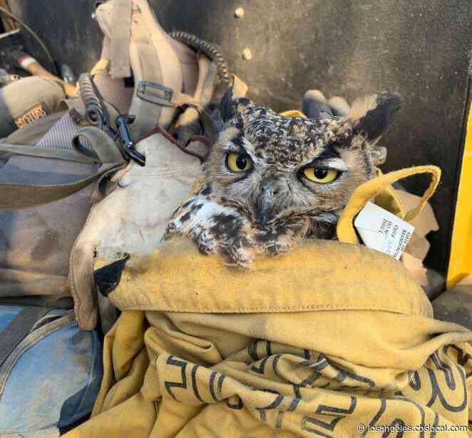 Injured Owl Rescued By Firefighters During Maria Fire Released Back Into Wild