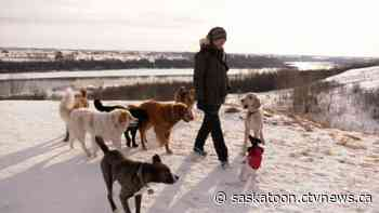 'You need to be the pack leader': The life of a professional Saskatoon dog walker