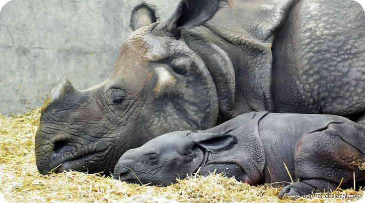 'Heroic Effort' From Staff Led To Denver Zoo's First-Ever Baby Rhino Birth