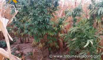 Descubierta una plantación de marihuana escondida en un maizal en el municipio de Bercero - Tribuna Valladolid
