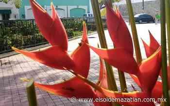 Exótico negocio: produce Sinaloa flor de heliconia - El Sol de Mazatlán