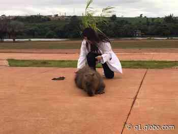 Capivara é resgatada com tiro na cabeça em Barra Bonita - G1
