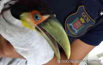 Filhote de tucano é resgatado pela Guarda Municipal de Ferraz de... - Notícias de Mogi