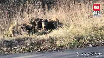 Markkleeberg: Schulweg wegen Aggro-Wildschweinen gesperrt - BILD