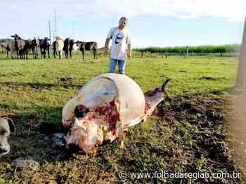 Vaca é abatida em Castilho e tem parte da carne levada por ladrões - Folha da Região