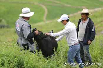 Arequipa: Nacen 44 crías de ganado vacuno en Lluta con programa de mejoramiento genético - INFOREGION