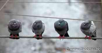 Armadilhas para pombos no Verão - DNoticias