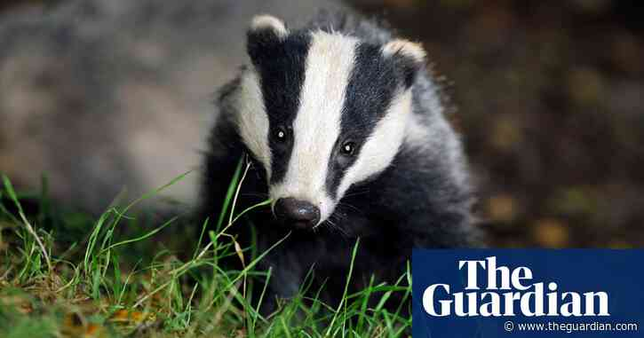 'Seismic shift': ministers signal end of badger cull