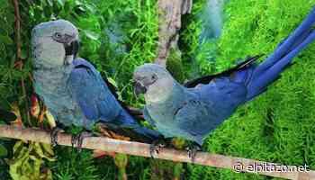 Brasil recibió de Alemania 52 ejemplares del amenazado guacamayo azul - El Pitazo