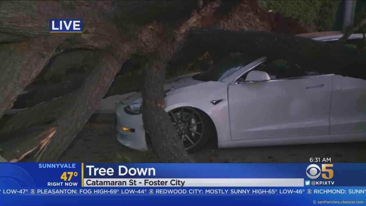 Pine Tree Falls Onto Street In Foster City - CBS San Francisco
