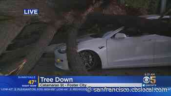Pine Tree Falls Onto Street In Foster City - CBS San Francisco