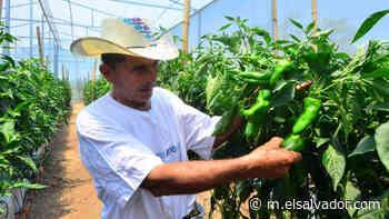Chile verde: una forma de subsistencia para las familias de Cacaopera   Noticias de El Salvador - elsalvador.com