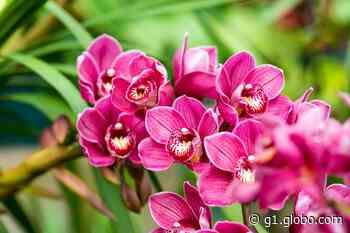 Porto Feliz recebe Festival de Orquídeas a partir desta sexta-feira - G1